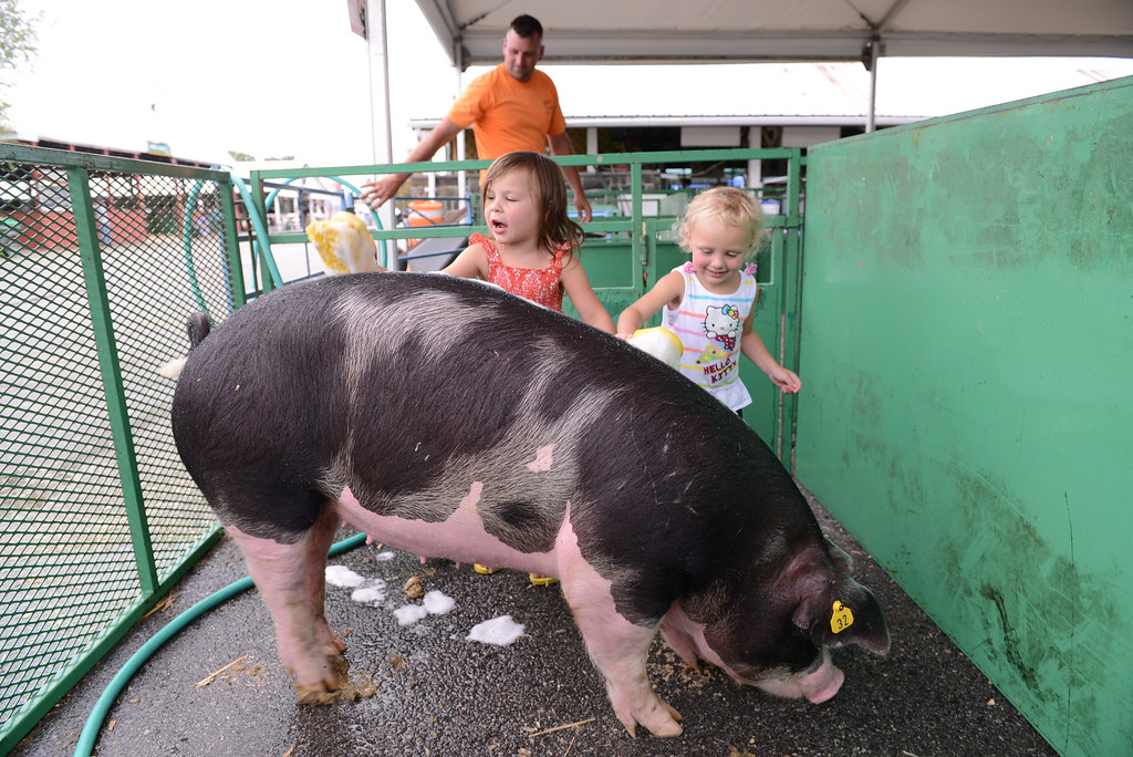 Description of . Tania Barricklo-Daily Freeman Liliana  Coon,4, left, daughter of John and Samantha of Red Hook, shares the experience of washing one of her Berkshire pigs with her cousin Emily Coon, 3 1/2, daughter of Pete, rear, and Jenn Coon of Red Hook while preparing for the opening day of the Dutchess County Fair in Rhinebeck which opens Tuesday at 10 am.